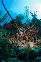 Spiny lobsters, Roatan, Bay Islands, Honduras, Caribbean, Central America Stock Photo - Premium Rights-Managednull, Code: 841-06444928
