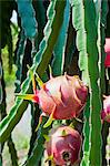 Dragon fruit at a fruit farm, Mekong Delta, Vietnam, Indochina, Southeast Asia, Asia Stock Photo - Premium Rights-Managed, Artist: Robert Harding Images, Code: 841-06445115