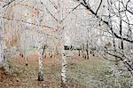 Frost-covered birch trees, town of Cakovice, Prague, Czech Republic, Europe Stock Photo - Premium Rights-Managed, Artist: Robert Harding Images, Code: 841-06446105