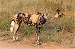 African wild dogs (Lycaon pictus), Kruger National Park, South Africa, Africa Stock Photo - Premium Rights-Managed, Artist: Robert Harding Images, Code: 841-06446143