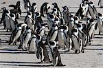 African penguins (Spheniscus demersus), Table Mountain National Park, Cape Town, South Africa, Africa Stock Photo - Premium Rights-Managed, Artist: Robert Harding Images, Code: 841-06446183