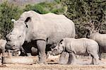 Dehorned white rhino (Ceratotherium simum) with calf, Mauricedale game ranch, Mpumalanga, South Africa, Africa Stock Photo - Premium Rights-Managed, Artist: Robert Harding Images, Code: 841-06446186