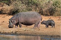 Hippopotamus (Hippopotamus amphibius) with calf, Kruger National Park, Mpumalanga, South Africa, Africa Stock Photo - Premium Rights-Managednull, Code: 841-06446197