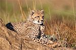 Cheetah (Acinonyx jubatus) cub, Phinda private game reserve, Kwazulu Natal, South Africa, Africa Stock Photo - Premium Rights-Managed, Artist: Robert Harding Images, Code: 841-06446207