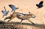 Blackbacked jackal (Canis mesomelas) chasing doves, Kgalagadi Transfrontier Park, South Africa, Africa Stock Photo - Premium Rights-Managed, Artist: Robert Harding Images, Code: 841-06446213