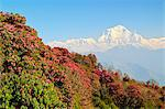 Rhododendron and Dhaulagiri Himal seen from Poon Hill, Annapurna Conservation Area, Dhawalagiri (Dhaulagiri), Western Region (Pashchimanchal), Nepal, Himalayas, Asia Stock Photo - Premium Rights-Managed, Artist: Robert Harding Images, Code: 841-06446608