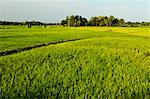 Rice fields, Polonnaruwa, Sri Lanka, Asia Stock Photo - Premium Rights-Managed, Artist: Robert Harding Images, Code: 841-06446713