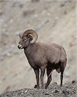 Bighorn sheep (Ovis canadensis) ram with an erection during the rut, Clear Creek County, Colorado, United States of America, North America Stock Photo - Premium Rights-Managednull, Code: 841-06446759