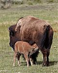 Bison (Bison bison) cow nursing her calf, Yellowstone National Park, Wyoming, United States of America, North America Stock Photo - Premium Rights-Managed, Artist: Robert Harding Images, Code: 841-06446863