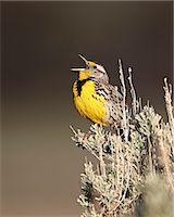 Western meadowlark (Sturnella neglecta) singing, Yellowstone National Park, Wyoming, United States of America, North America Stock Photo - Premium Rights-Managednull, Code: 841-06446872