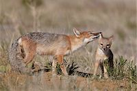 Swift fox (Vulpes velox) vixen grooming a kit, Pawnee National Grassland, Colorado, United States of America, North America Stock Photo - Premium Rights-Managednull, Code: 841-06446886