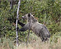 Grizzly bear (Ursus arctos horribilis) pushing over a dead tree, Glacier National Park, Montana, United States of America, North America Stock Photo - Premium Rights-Managednull, Code: 841-06446922