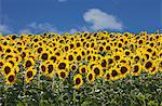 Sunflowers in Tuscany, Italy, Europe Stock Photo - Premium Rights-Managed, Artist: Robert Harding Images, Code: 841-06447025