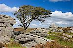 Hawthorn tree and granite outcrop, Saddle Tor, Dartmoor, Devon, England, United Kingdom, Europe Stock Photo - Premium Rights-Managed, Artist: Robert Harding Images, Code: 841-06447487