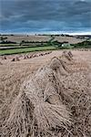 Traditional wheat stooks harvested for thatching, Coldridge, Devon, England, United Kingdom, Europe Stock Photo - Premium Rights-Managed, Artist: Robert Harding Images, Code: 841-06447610