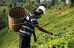 Farmer Lincoln Kimanthi Mugo picking tea, Kathangiri, Kenya, East Africa, Africa Stock Photo - Premium Rights-Managed, Artist: Robert Harding Images, Code: 841-06448157