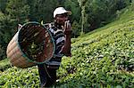 Farmer Lincoln Kimanthi Mugo picking tea, Kathangiri, Kenya, East Africa, Africa Stock Photo - Premium Rights-Managed, Artist: Robert Harding Images, Code: 841-06448158