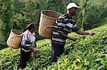Farmer Lincoln Kimanthi Mugo and his wife Polly Mukami picking tea, Kathangiri, Kenya, East Africa, Africa Stock Photo - Premium Rights-Managed, Artist: Robert Harding Images, Code: 841-06448160