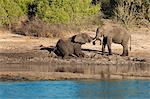 Elephants on the banks of the Chobe River, Caprivi Strip, Namibia, Africa Stock Photo - Premium Rights-Managed, Artist: Robert Harding Images, Code: 841-06448653