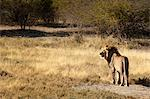 Lion (panthera leo), Namibia, Africa Stock Photo - Premium Rights-Managed, Artist: Robert Harding Images, Code: 841-06448665