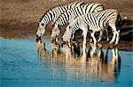Trio of common zebras (Equus burchelli) at a water hole, Etosha National Park, Namibia, Africa Stock Photo - Premium Rights-Managed, Artist: Robert Harding Images, Code: 841-06448666