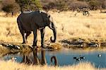 African elephant (Loxodonta africana) at water hole, world's largest land animal, Etosha National Park, Namibia, Africa Stock Photo - Premium Rights-Managed, Artist: Robert Harding Images, Code: 841-06448668