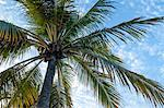 Coconut tree, low angle view, Providenciales, Turks and Caicos Islands, West Indies, Caribbean, Central America Stock Photo - Premium Rights-Managed, Artist: Robert Harding Images, Code: 841-06448710