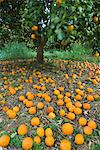 Fallen oranges in orange grove, Cyprus, Europe Stock Photo - Premium Rights-Managed, Artist: Robert Harding Images, Code: 841-06449292