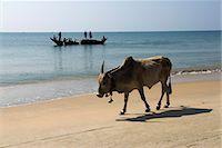 Cattle and fishing boat, Benaulim, Goa, India, Asia Stock Photo - Premium Rights-Managednull, Code: 841-06449381
