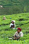 Picking tea on a Tea Plantation, near Munnar, Kerala, India, Asia Stock Photo - Premium Rights-Managed, Artist: Robert Harding Images, Code: 841-06449439