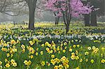 Daffodils and blossom in spring, Hampton, Greater London, England, United Kingdom, Europe Stock Photo - Premium Rights-Managed, Artist: Robert Harding Images, Code: 841-06449577