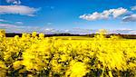 Fields of wind-swept oilseed rape in springtime, Bramham, West Yorkshire, Yorkshire, England, United Kingdom, Europe Stock Photo - Premium Rights-Managed, Artist: Robert Harding Images, Code: 841-06449598