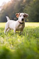 diego_cervo (artist) - puppy jack russell standing on grass in park and looking at camera with attention. Full length, copy space Stock Photo - Royalty-Freenull, Code: 400-06457904