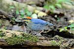 beautiful male blue pitta (Pitta cyanea) in Thai forest Stock Photo - Royalty-Free, Artist: cowboy54                      , Code: 400-06458894