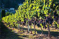 Grapes on Grapevines in Vineyard, Kelowna, Okanagan Valley, British Columbia, Canada Stock Photo - Premium Rights-Managednull, Code: 700-06465407