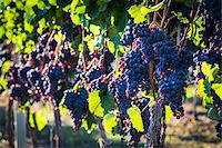 Close-Up of Grapes on Grapevines in Vineyard, Kelowna, Okanagan Valley, British Columbia, Canada Stock Photo - Premium Rights-Managednull, Code: 700-06465408