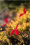Close-Up of Red Plant and Autumn Vegetation, Rock Isle Trail, Sunshine Meadows, Mount Assiniboine Provincial Park, British Columbia, Canada Stock Photo - Premium Rights-Managed, Artist: R. Ian Lloyd, Code: 700-06465488