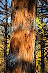 Close-Up of Tree Trunk in Forest, Rock Isle Trail, Sunshine Meadows, Mount Assiniboine Provincial Park, British Columbia, Canada Stock Photo - Premium Rights-Managed, Artist: R. Ian Lloyd, Code: 700-06465490