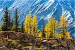 Autumn Larch on Cliff along Lake McArthur Trail, Yoho National Park, British Columbia, Canada Stock Photo - Premium Rights-Managed, Artist: R. Ian Lloyd, Code: 700-06465550