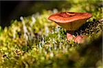 Close-Up of Mushroom Growing Amongst Moss, Lake McArthur Trail, Yoho National Park, British Columbia, Canada Stock Photo - Premium Rights-Managed, Artist: R. Ian Lloyd, Code: 700-06465559