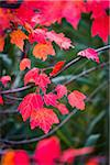 Close-Up of Bright Red Leaves on Tree in Autumn Stock Photo - Premium Rights-Managed, Artist: R. Ian Lloyd, Code: 700-06465602