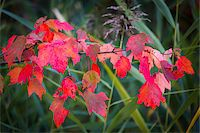 Red Leaves on Branch in Autumn Stock Photo - Premium Rights-Managednull, Code: 700-06465603