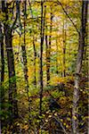 Forest Trees in Autumn, Smugglers Notch, Lamoille County, Vermont, USA Stock Photo - Premium Rights-Managed, Artist: R. Ian Lloyd, Code: 700-06465614