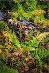 Close-Up of Ferns and Fallen Tree Stock Photo - Premium Rights-Managed, Artist: R. Ian Lloyd, Code: 700-06465616