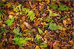 Ferns and Fallen Leaves on Forest Floor Stock Photo - Premium Rights-Managed, Artist: R. Ian Lloyd, Code: 700-06465617