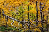 Fallen Tree and Forest Trees in Autumn, Smugglers Notch, Lamoille County, Vermont, USA Stock Photo - Premium Rights-Managednull, Code: 700-06465619