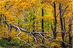 Fallen Tree and Forest Trees in Autumn, Smugglers Notch, Lamoille County, Vermont, USA Stock Photo - Premium Rights-Managed, Artist: R. Ian Lloyd, Code: 700-06465619