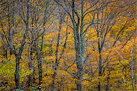 Bare Trees and Autumn Foliage in Forest, Smugglers Notch, Lamoille County, Vermont, USA Stock Photo - Premium Rights-Managednull, Code: 700-06465621