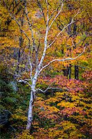 Bare Birch Tree in Forest in Autumn, Smugglers Notch, Lamoille County, Vermont, USA Stock Photo - Premium Rights-Managednull, Code: 700-06465623
