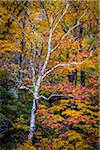 Bare Birch Tree in Forest in Autumn, Smugglers Notch, Lamoille County, Vermont, USA Stock Photo - Premium Rights-Managed, Artist: R. Ian Lloyd, Code: 700-06465623